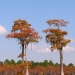 Cypress Trees gallerythumb